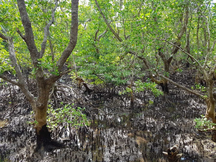 Mangroves in the Philippines